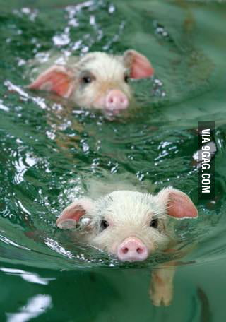 Just some pigs, swimming