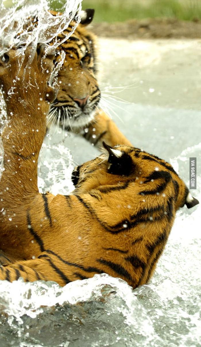 Sumatran tigers enjoying the pool