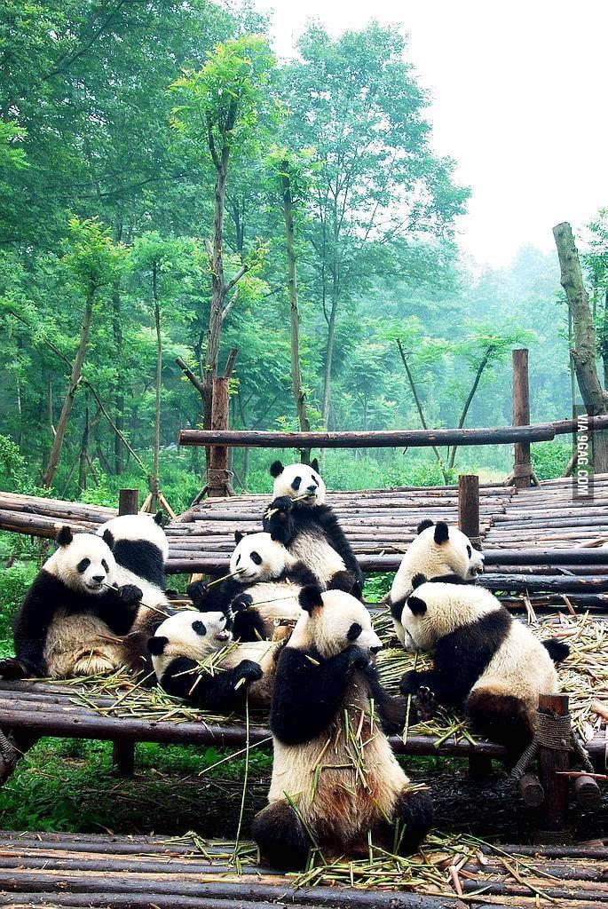Panda Gang