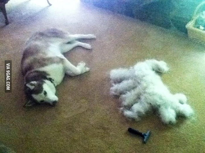 The result of brushing a Siberian Husky...