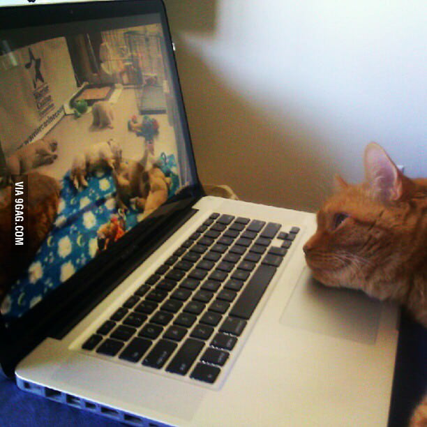 Just a cat watching the live feed of golden retriever puppie