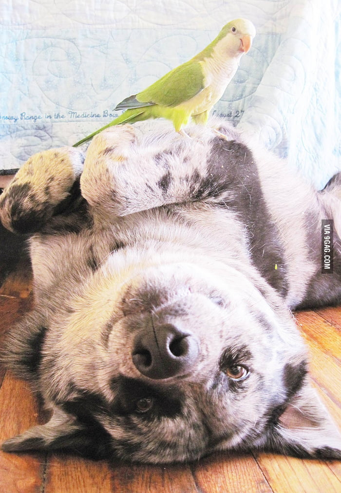 30g parrot takes down a 40kg dog