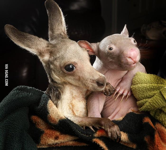 Kangaroo & wombat BFF