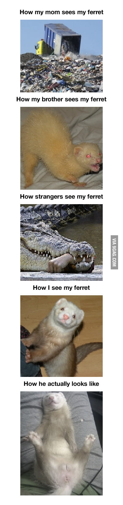 Ferret, the truth about them