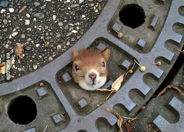 Squirrel Gets Stuck in Manhole Cover