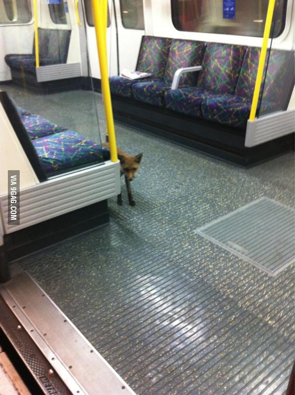 Found a fox on the underground