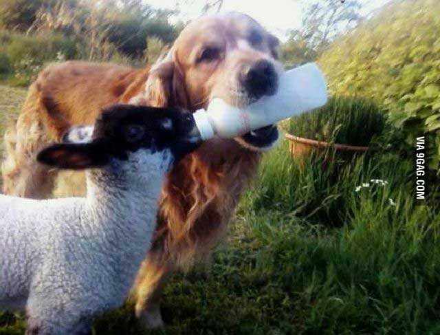 Just a smart dog feeding a baby sheep