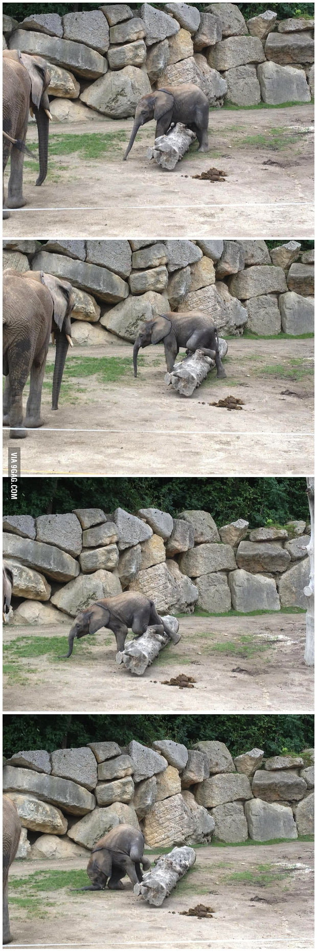 Photos of a baby elephant falling over