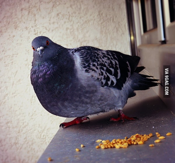 This pigeon visits is called Fat Bernie.