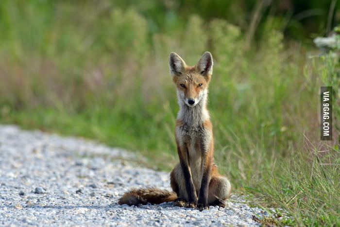 This fox looks cunning yet cute.