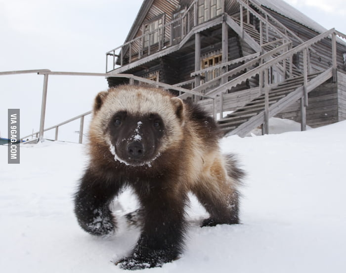 Young wolverine in the snow.