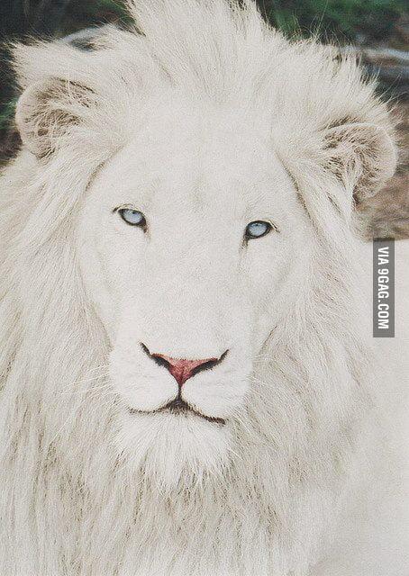 Ridiculously Photogenic White Lion