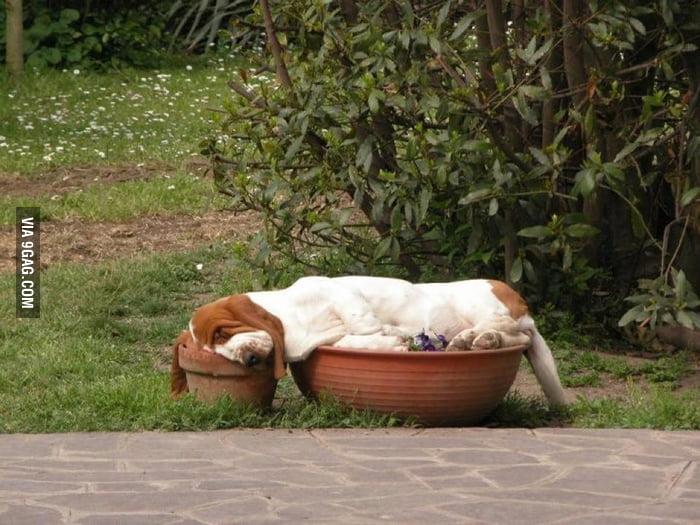 Basset Hound sleeping in flower pots. Part dog, part gravy.