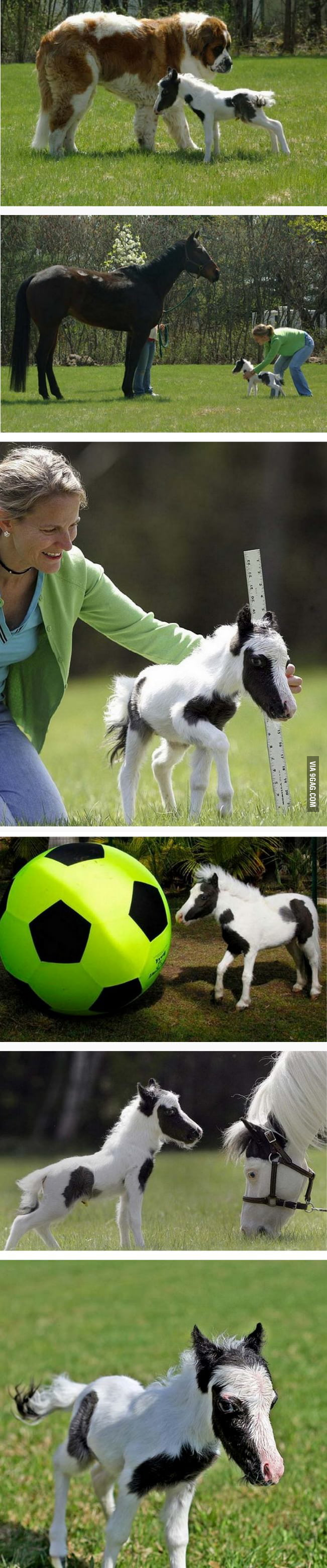 The world's smallest horse.