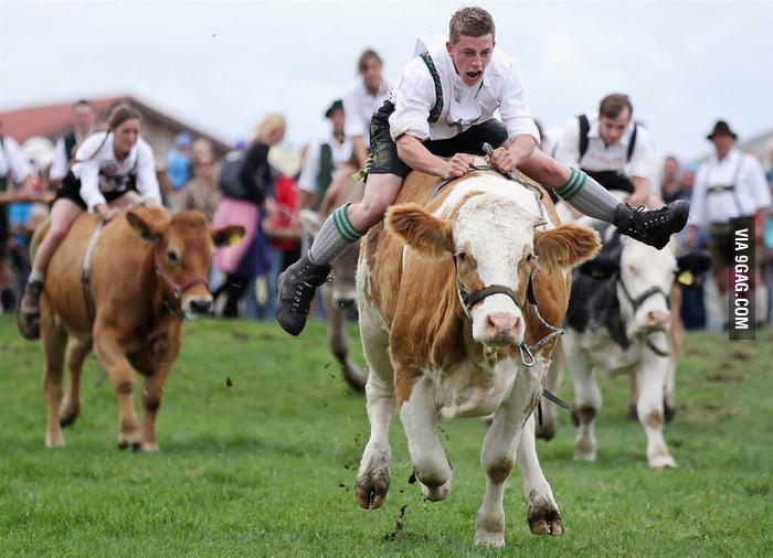 Cow race in Germany