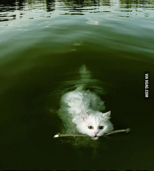 Who says cat can't swim?