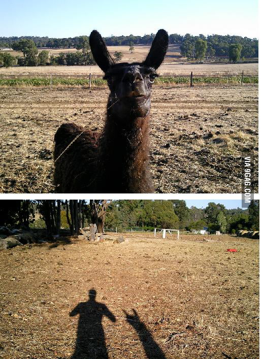 This is Lance the heavy metal llama.