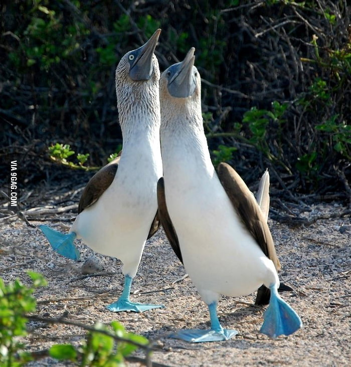 """Baby Blue-Footed Boobies' version of """"Haters gonna hate""""."""