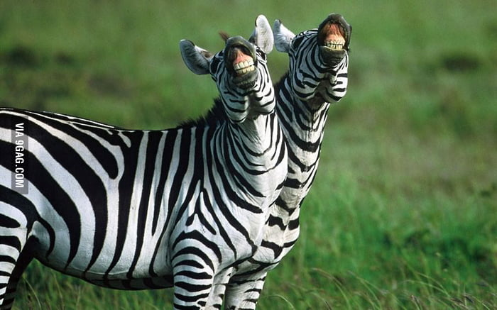 Zebras smile big for the camera.