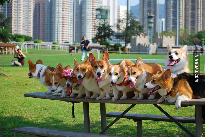 Corgis Cuteness Level: Overloaded