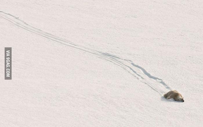 Just a polar bear sliding down a hill.