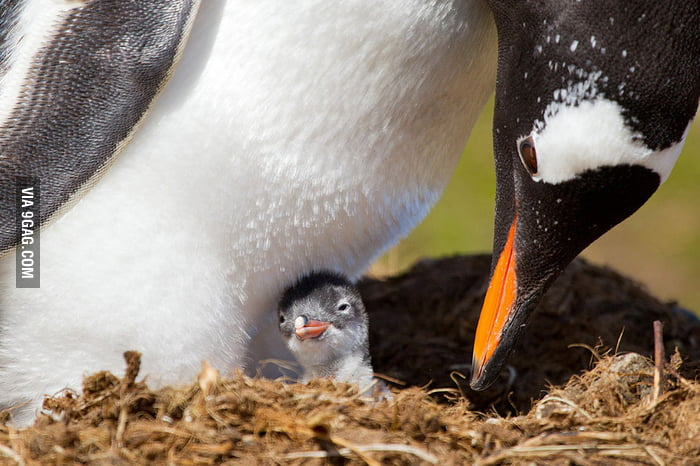 This penguin is just a few hours old.