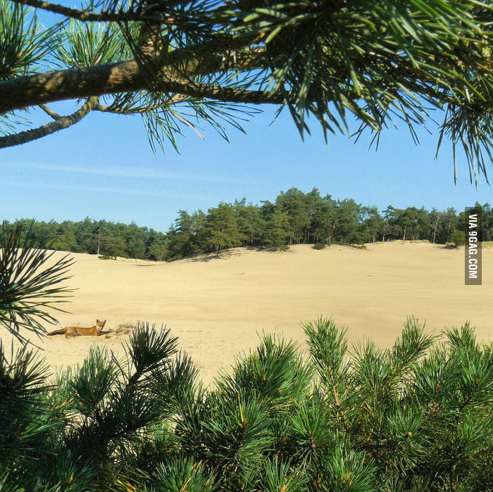 Just a fox, in a desert, in.... the Netherlands.