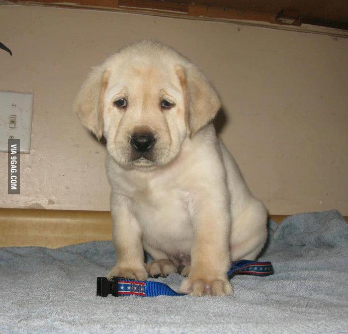 Sad Labrador is sad.