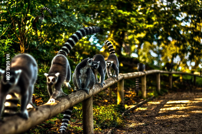 Lemurs on a wood fence.