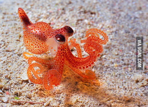Cute Baby Octopus