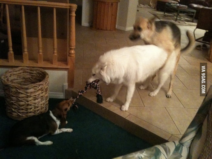 Smart German Shepherd Dog caught a good timing.