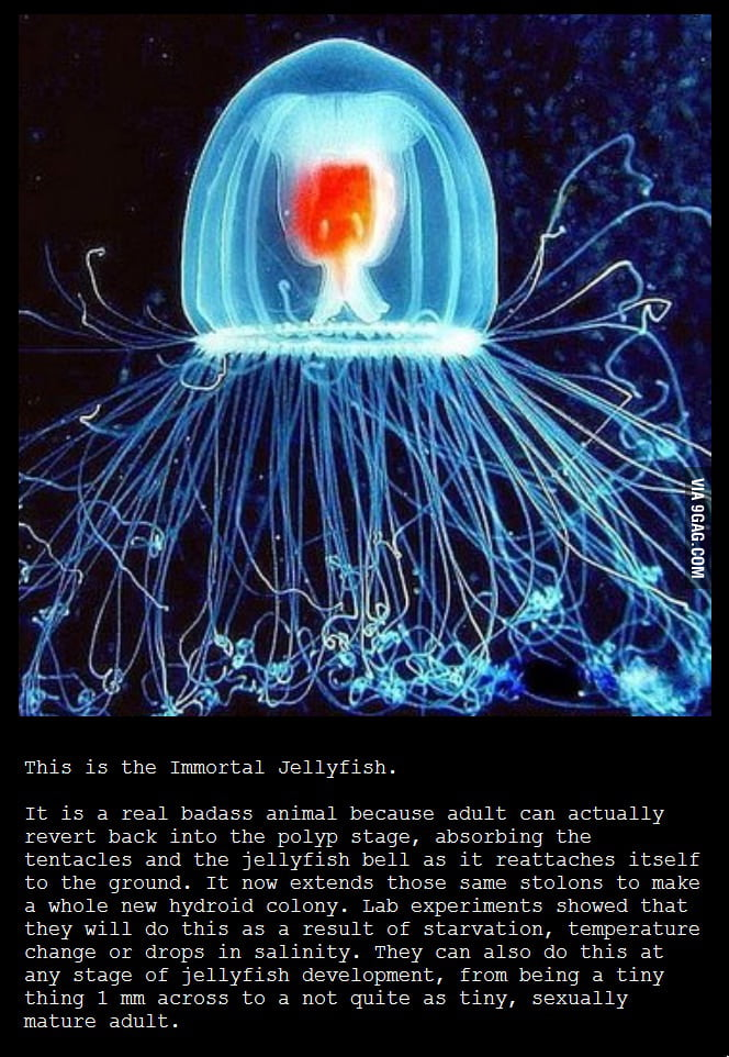 Badass Immortal Jellyfish