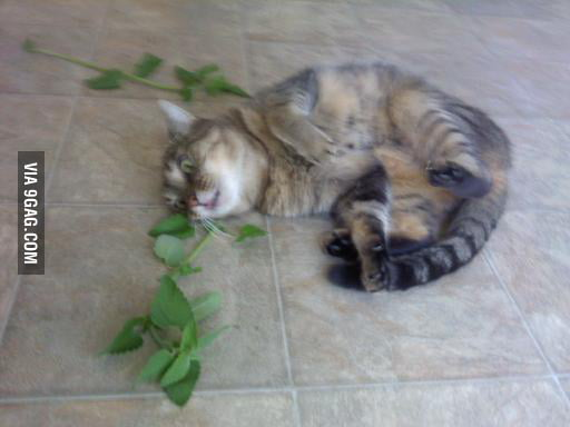 There was fresh catnip at the farmer's market last week.