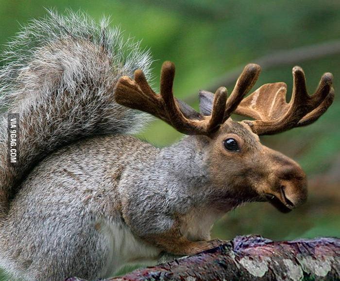 Squirrel Moose