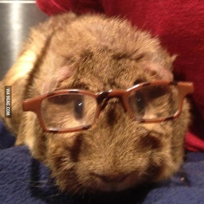 Guinea pig wearing glasses.