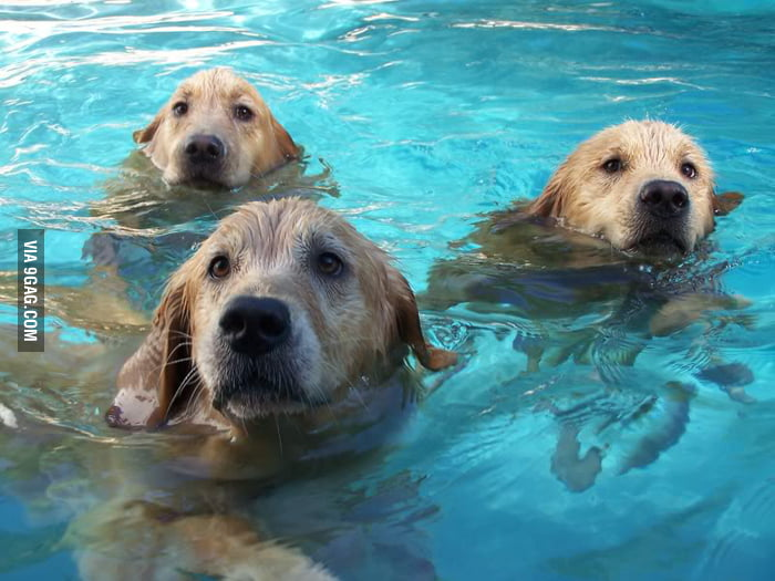 Proof that Seals were evolved from Golden Retrievers.