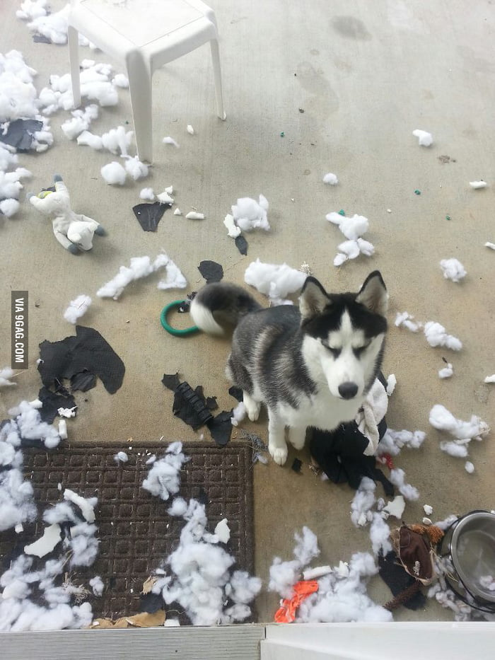 I bought my husky a new bed...