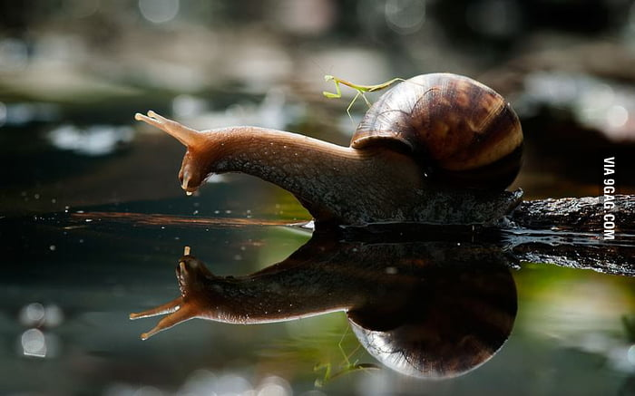 A praying mantis riding a snail.
