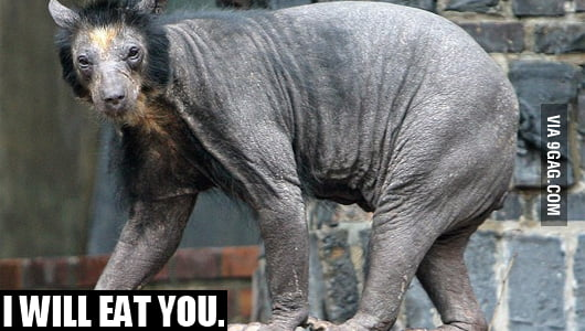 Bald Bear.