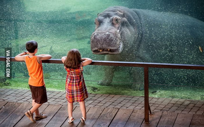 Staring Contest - Hippo vs Kids