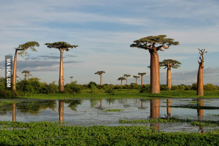 Boabab trees in Madagascar.