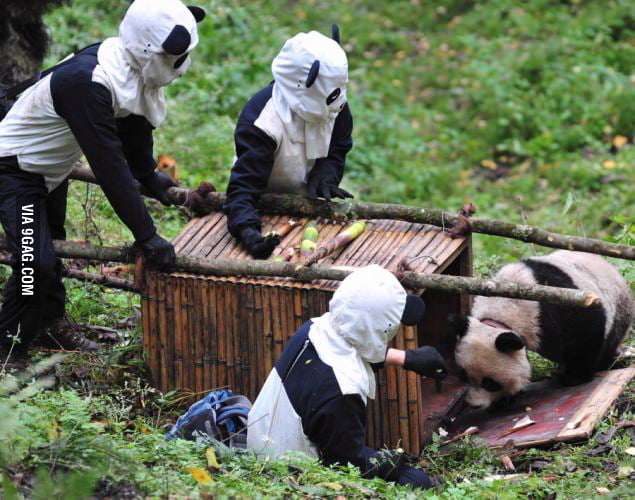 How Chinese researchers cage a panda.