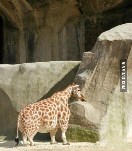 Midget obese giraffe