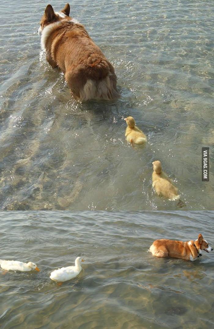 Ducklings following a corgi.