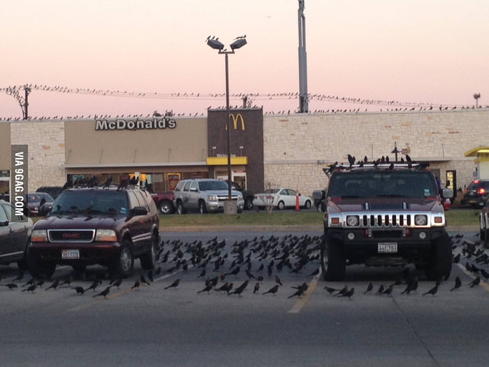 I think crows love McDonald's.