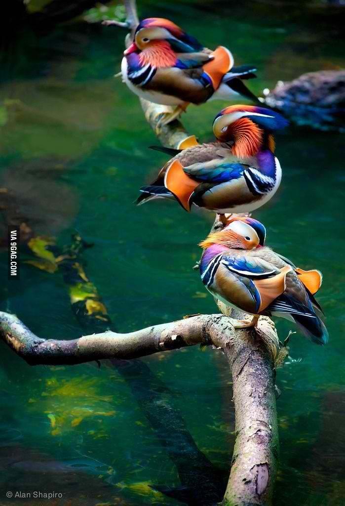 Beautiful Chinese Mandarin Ducks