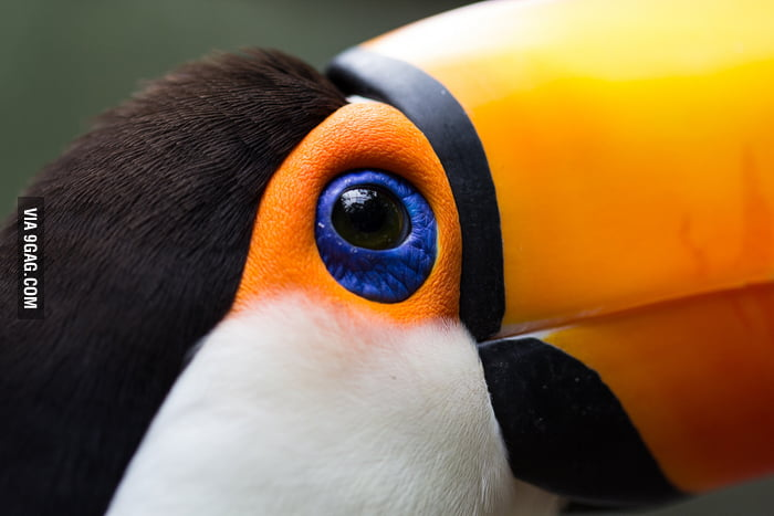 The watchful eye of the toucan
