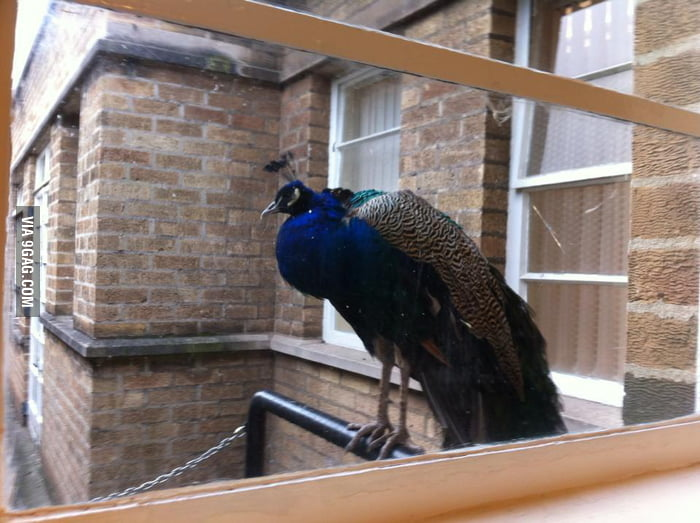 Went to Hospital, suddenly a Peacock.
