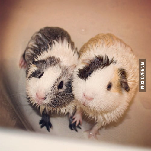 2 cute guinea pigs holding hands after a bath.