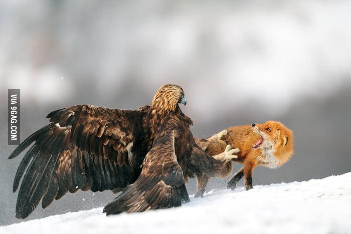 Eagle vs Fox!